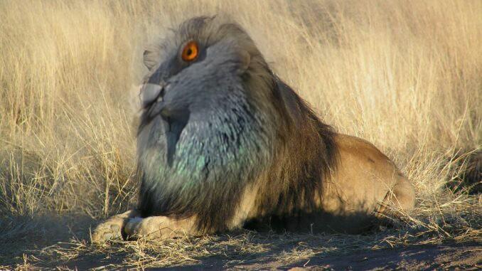 lion-pigeon